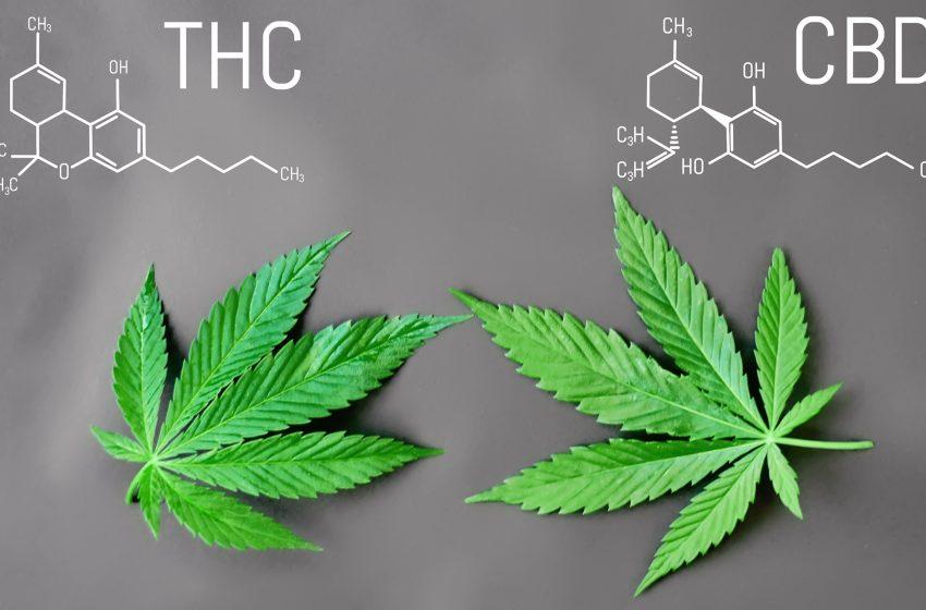 CBD vs THC: por que o CBD não é intoxicante?
