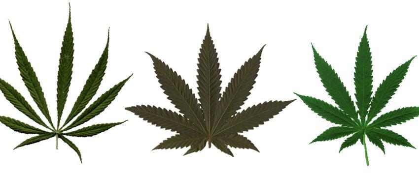 Qual a diferença entre Cannabis Sativa e Cannabis Indica?