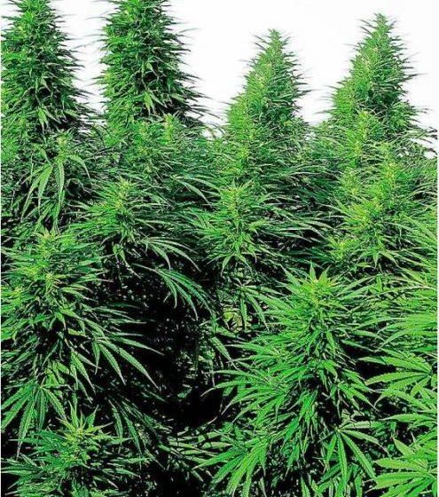 Cannabis Ruderalis: O que é, características e propriedades medicinais