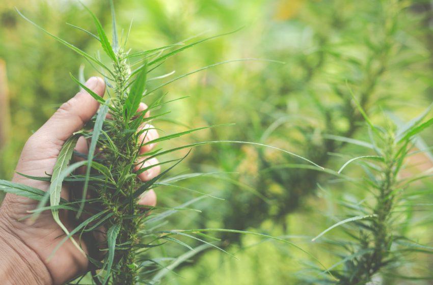 Brasil pode ser um forte exportador de cannabis, segundo estudo