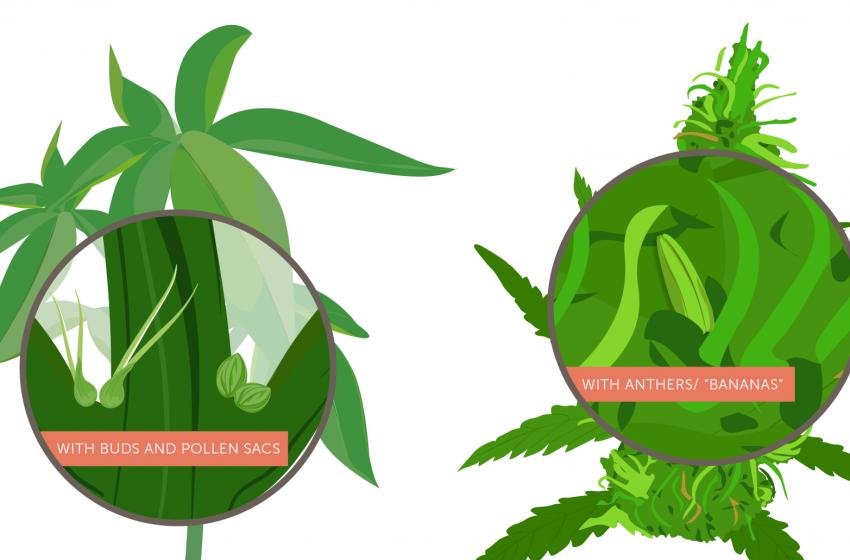 Cannabis hermafrodita: o que é, como ocorre e como evitar