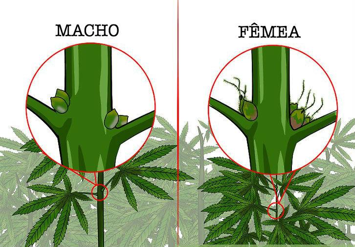 Macho e Fêmea: como identificar o sexo da planta cannabis