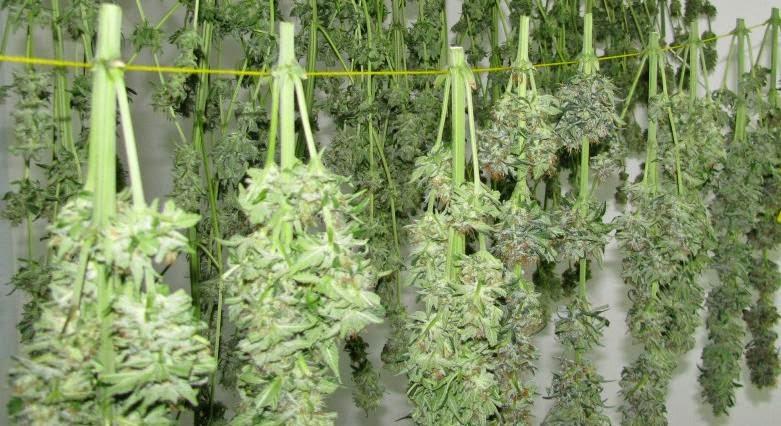 É necessario lavar as plantas cannabis antes da colheita?