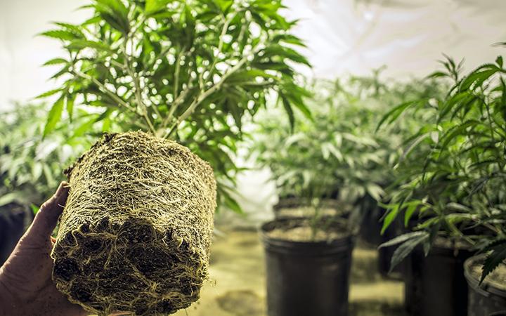 Cultivo indoor de cannabis – Guia completo
