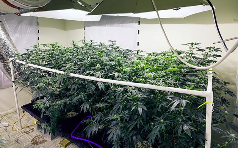 Cannabis autoflorescente: o que é, quais suas vantagens e características