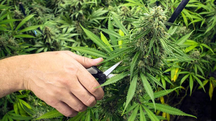 Como colher a cannabis: períodos, sinais e cuidados