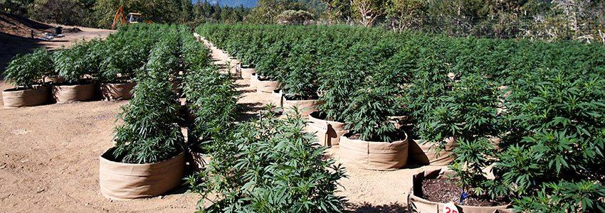 Cultivo Outdoor de Cannabis – Guia Completo