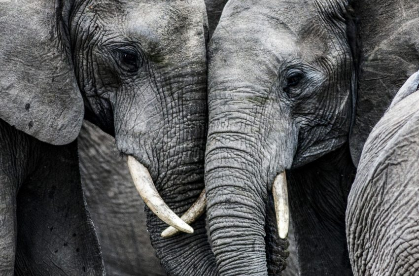 Zoológico pretende usar cannabis para aliviar estresse de elefantes