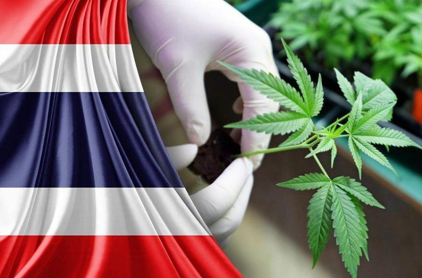 Produção de cannabis medicinal pode aumentar na Tailândia