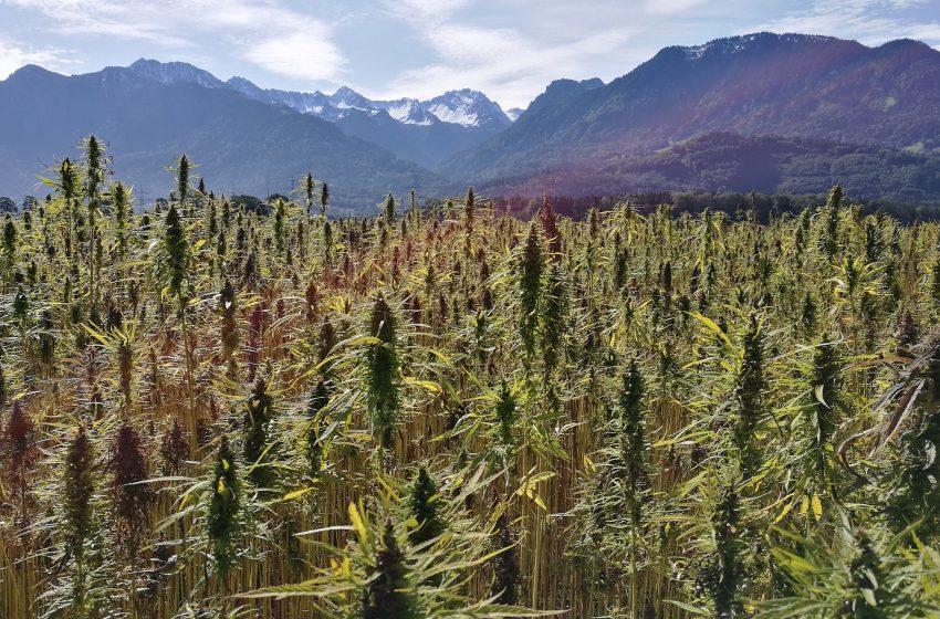 Projeto de Lei quer legalizar cultivo de Cannabis Medicinal e de Cânhamo no Brasil