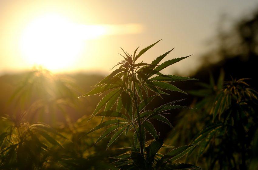 A divisão política no Brasil sobre o cultivo de cannabis medicinal