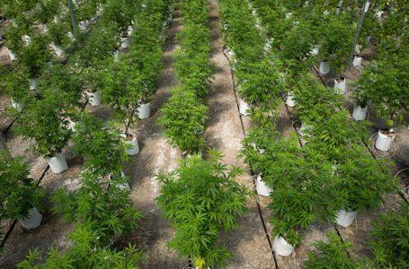 Qual a relação da cannabis e do vinho para as leis da Califórnia?
