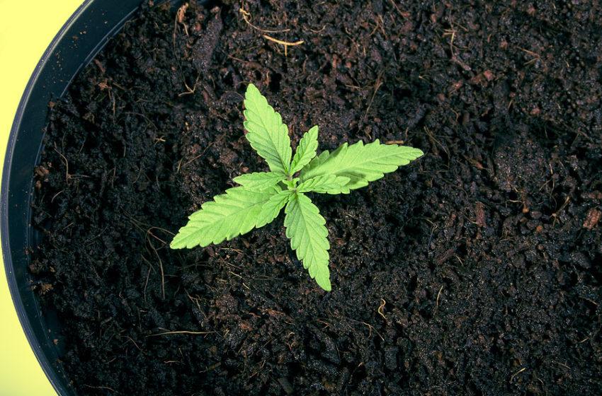 Orgânicos de cannabis: O que são e para que servem?