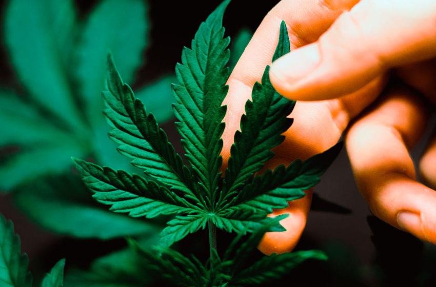 Teste genético pode prever a quantidade de CBD e THC que a planta irá produzir