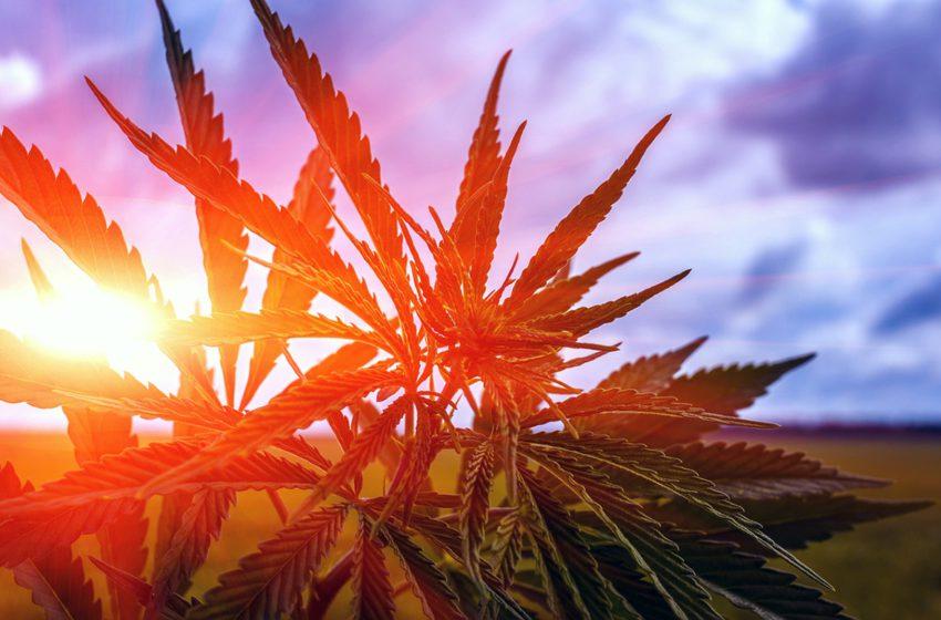 Primeiro desenvolvimento genético de cannabis no Brasil