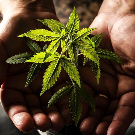 França fornecerá cannabis para pacientes