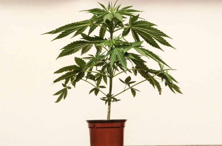Dificuldades atuais de quem precisa plantar o próprio remédio legalmente