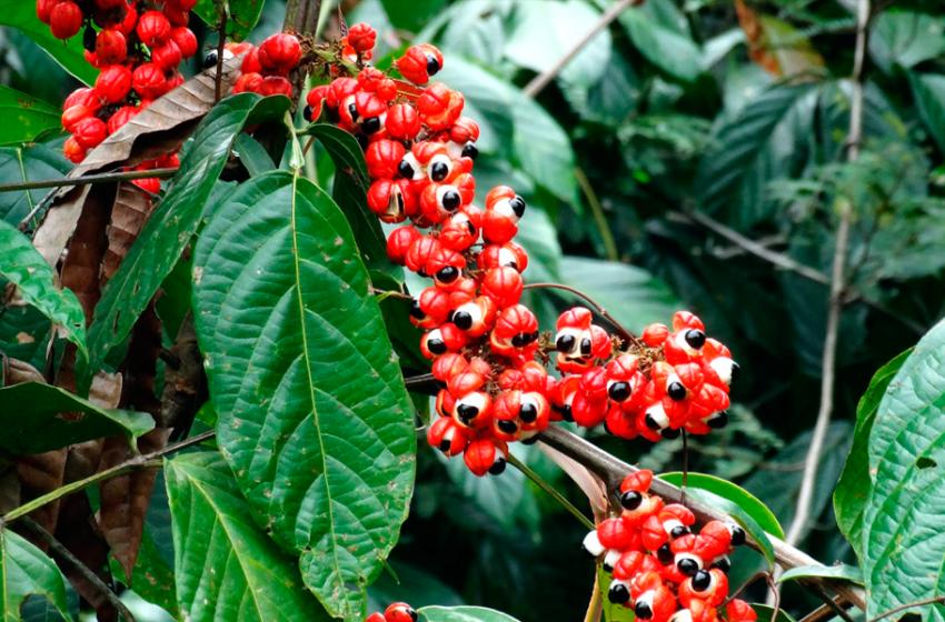 Guaraná: O que é, Benefícios, Efeitos e Contraindicações