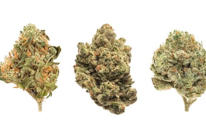 Cepas de Cannabis: O que são e suas variedades