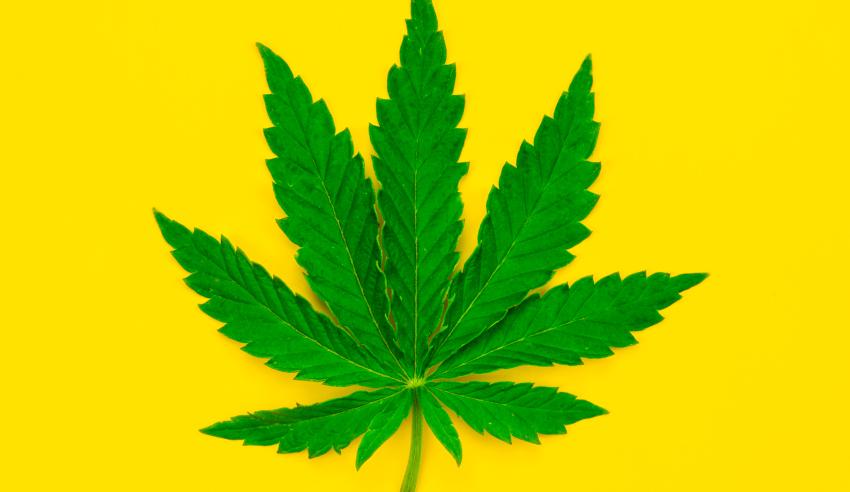 Você sabe qual a função dos canabinoides para a cannabis?