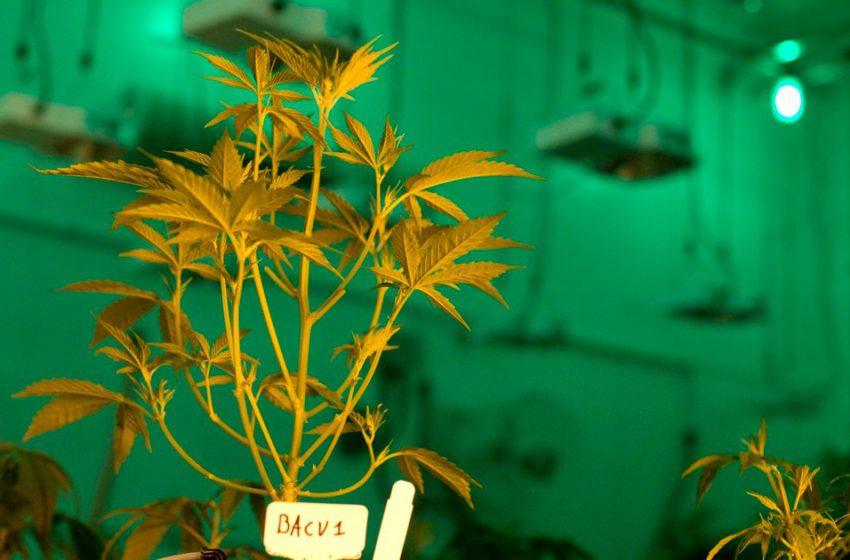 Projeto de expansão da cannabis medicinal avança no Texas