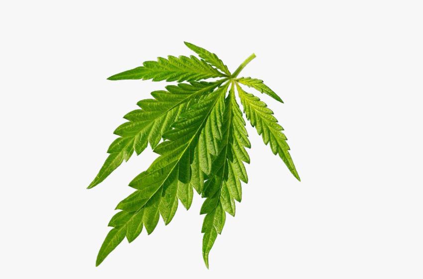 Cannabis reduz o consumo de álcool e tabaco, segundo estudos