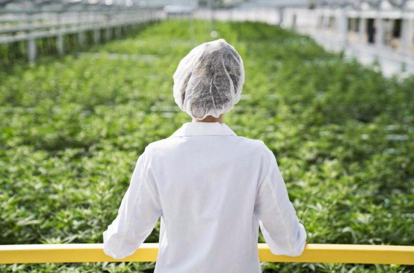 Indústria da cannabis consegue se manter na pandemia