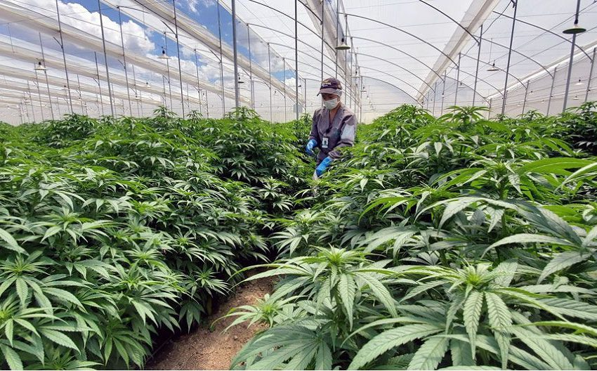 Colômbia ganha força no mercado de cannabis medicinal