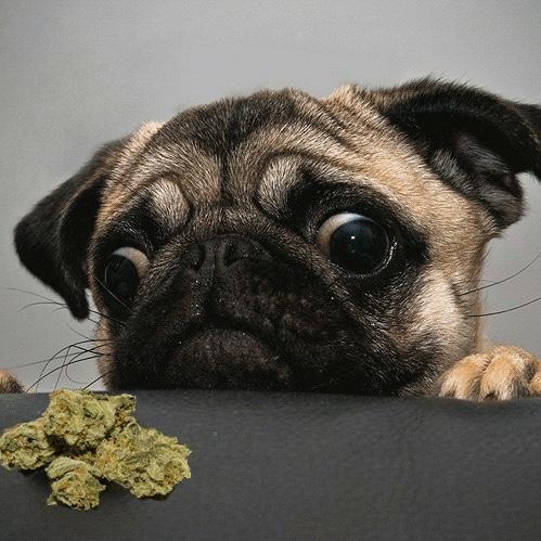 Cresce o número de ingestão de cannabis por pets